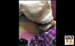 Me guide dog Fletcher indoors lying on a blanket with pink, blue, yellow, orange squares. I'm out of harness and my head in under another blanker. This blank is purple. There is a black kong to the bottom of the photo. @pawsatthekerb