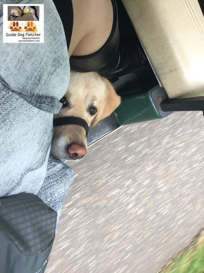 Me guide dog Fletcher peeking out at you from under my human's legs. I'm in a halti and you get to see only my face. To the side is the grey path flashing by. I'm in a golf buggy-type vehicle. Though that's difficult to tell. You see the grey dress of my human to the left of me. @pawsatthekerb