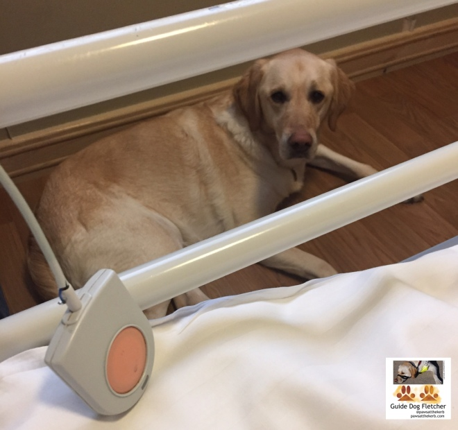 Me guide dog Fletcher as seen through the side bars of a hospital bed. There's an alarm bell in the foreground. I'm lying sown out of harness staring up at you. I'm a golden labrador Golden Retriever cross. @pawsatthekerb